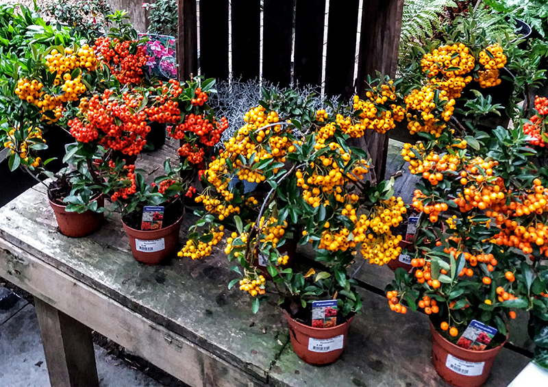 Autumn stock at the Plant Centre, Compton Acres