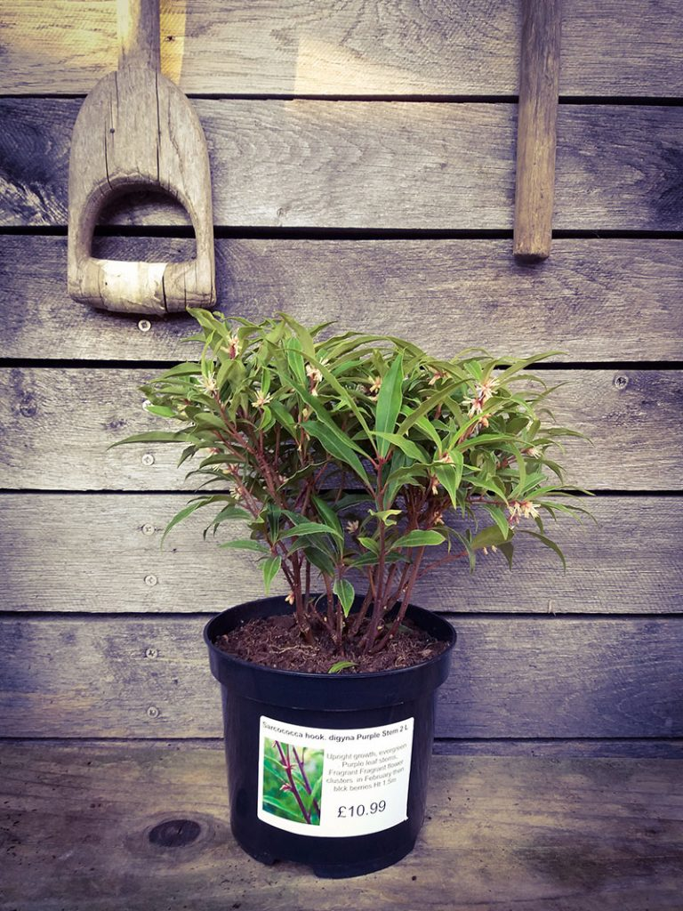Sarcococca 'Sweet Box' at the Plant Centre at Compton Acres, Poole Dorset