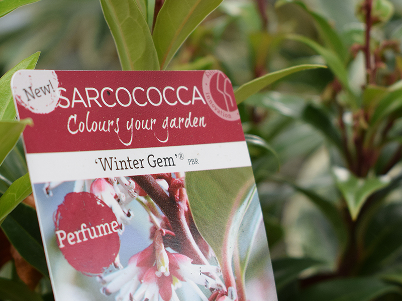 compton-acres-poole-dorset-cafe-tea-rooms-autumn-trends-2017-sarcococca