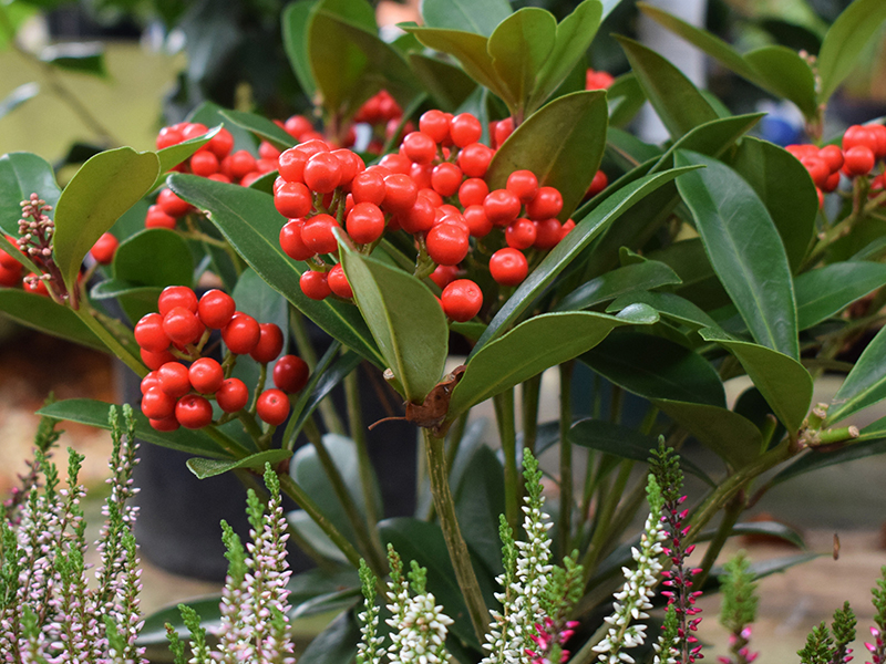 compton-acres-poole-dorset-cafe-tea-rooms-autumn-trends-2017-skimmia-with-berries-heather